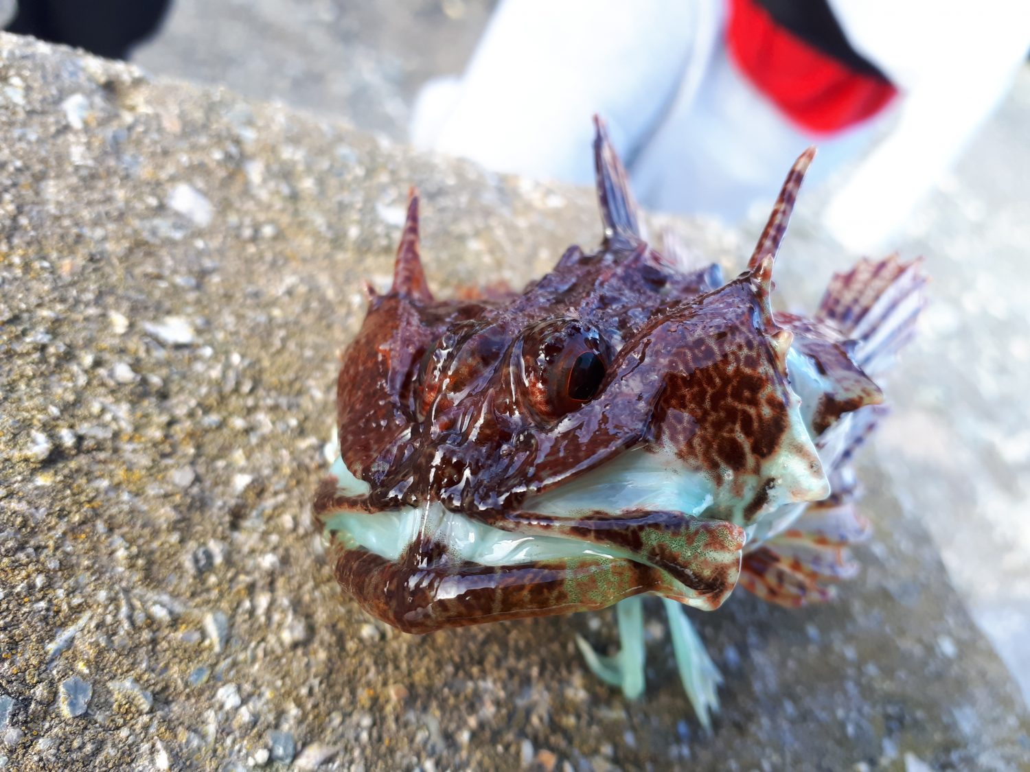 picture of a Scorpion fish caught at Holyhead Breakwater