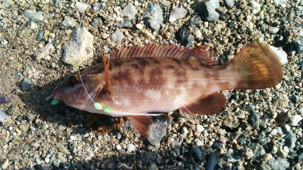 a brown Ballan Wrasse caught when fishing at Holyhead Breakwater